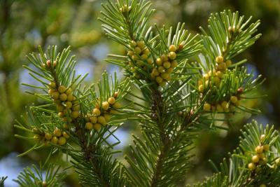 Abies sibirica (Siberian Fir), cone, pollen