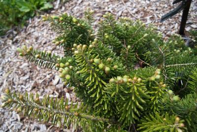 Abies koreana 'Green Carpet' (Green Carpet Korean Fir), leaf, new