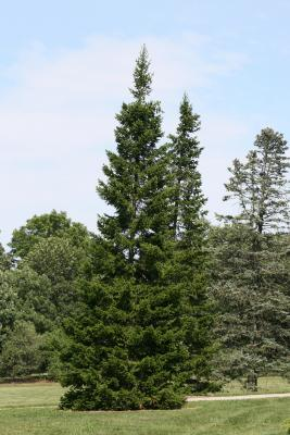 Abies sibirica (Siberian Fir), habit, summer