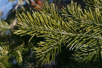 Abies sibirica (Siberian Fir), leaf, upper surface