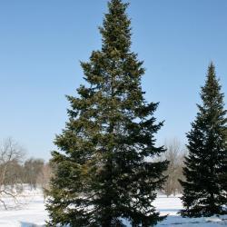 Abies sibirica (Siberian Fir), habit, winter