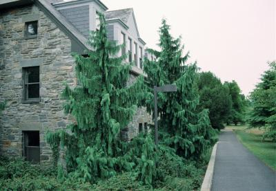 Callitropsis nootkatensis 'Pendula' (Weeping Alaska-cedar), habit, summer
