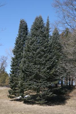 Abies lasiocarpa var. arizonica (Corkbark Fir), habit, winter