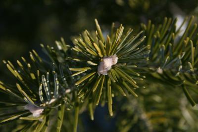 Abies sibirica (Siberian Fir), bud, terminal