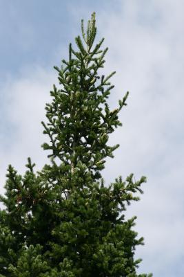 Abies sibirica (Siberian Fir), cone, mature