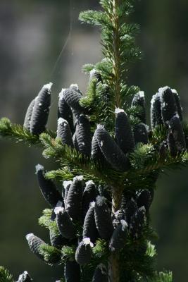 Abies lasiocarpa (Subalpine Fir), cone, immature