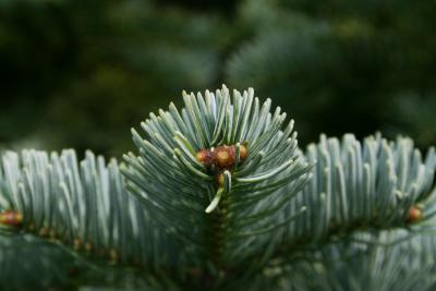 Abies lasiocarpa var. arizonica (Corkbark Fir), bud, vegetative