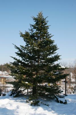 Abies homolepis (Nikko Fir), habit, winter