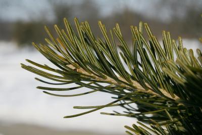 Abies sibirica (Siberian Fir), leaf, winter
