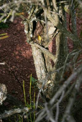 Ephedra viridis (Mormon-tea), bark, mature