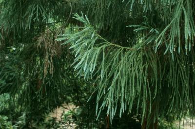 Cryptomeria japonica (Japanese-cedar), habit, summer