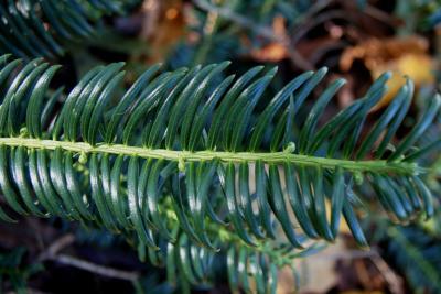 Cephalotaxus harringtonia (Harrington's Plum-yew), habit, fall