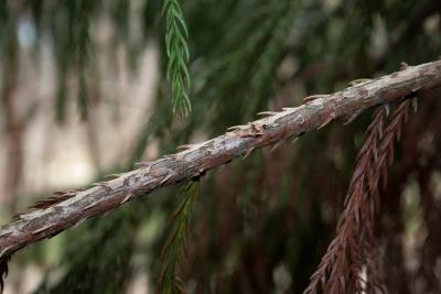 Cryptomeria japonica (Japanese-cedar), bark, twig