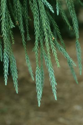 Cryptomeria japonica (Japanese-cedar), leaf, summer