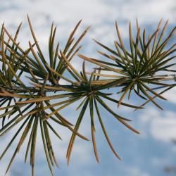 Cedrus libani (Cedar-of-Lebanon), leaf, winter