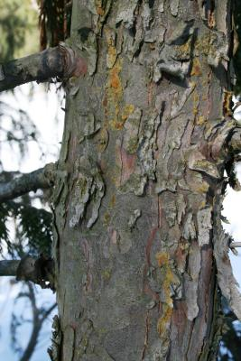 Callitropsis nootkatensis (Alaska-cedar), bark, trunk