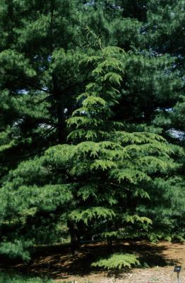 Cedrus libani subsp. stenocoma (Cedar-of-Lebanon), habit, summer