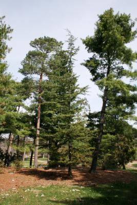 Cedrus libani subsp. stenocoma (Cedar-of-Lebanon), habit, spring