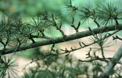 Cedrus libani subsp. stenocoma (Cedar-of-Lebanon), bark, branch