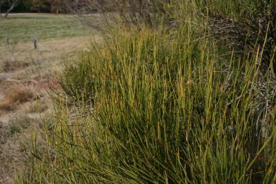 Ephedra viridis (Mormon-tea), habit, fall