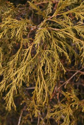 Chamaecyparis pisifera 'Filifera Nana' (Dwarf Thread-leaved Sawara-cypress), leaf, winter