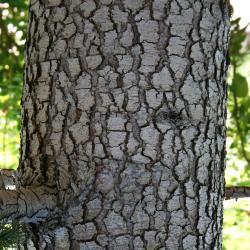 Cedrus libani subsp. stenocoma (Cedar-of-Lebanon), bark, trunk