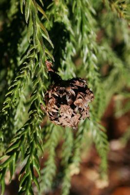 Cryptomeria japonica (Japanese-cedar), cone, mature