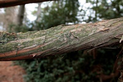 Cryptomeria japonica (Japanese-cedar), bark, branch