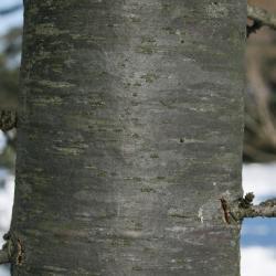 Cedrus libani (Cedar-of-Lebanon), bark, trunk
