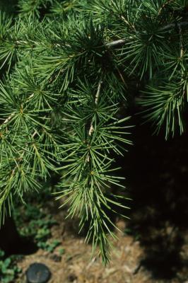 Cedrus libani subsp. stenocoma (Cedar-of-Lebanon), leaf, summer