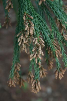 Cryptomeria japonica (Japanese-cedar), cone, pollen