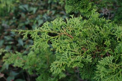 Chamaecyparis obtusa 'Nana Gracilis' (Dwarf Slender Hinoki-cypress), leaf, summer