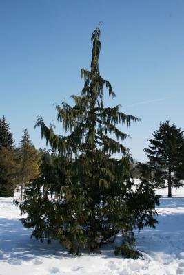 Callitropsis nootkatensis (Alaska-cedar), habit, winter