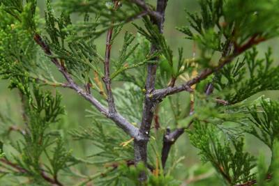 Calocedrus decurrens (Incense-cedar), bark, twig