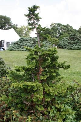 Chamaecyparis obtusa 'Nana Gracilis' (Dwarf Slender Hinoki-cypress), habit, summer