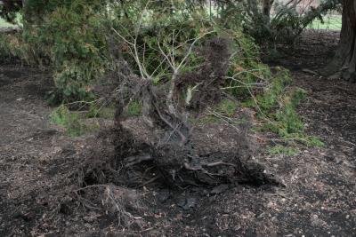 Chamaecyparis obtusa (Hinoki-cypress), roots