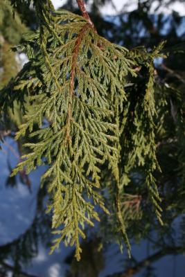 Callitropsis nootkatensis (Alaska-cedar), leaf, upper surface