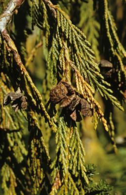 Callitropsis nootkatensis (Alaska-cedar), cone, mature