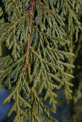 Callitropsis nootkatensis (Alaska-cedar), leaf, lower surface