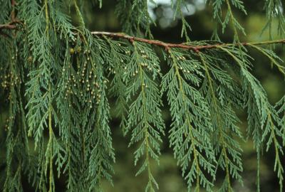 Callitropsis nootkatensis (Alaska-cedar), leaf, summer