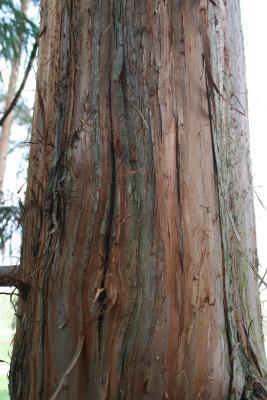 Cryptomeria japonica (Japanese-cedar), bark, trunk