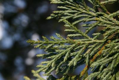 Callitropsis nootkatensis (Alaska-cedar), leaf, winter