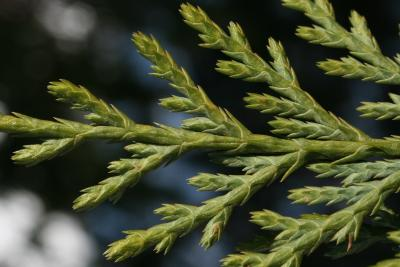 Callitropsis nootkatensis (Alaska-cedar), bark, twig