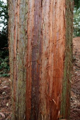 Cryptomeria japonica (Japanese-cedar), bark, mature