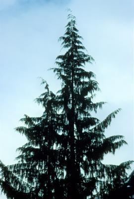 Callitropsis nootkatensis (Alaska-cedar), habit, summer