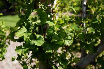 Ginkgo biloba 'Spring Grove' (Spring Grove Ginkgo), leaf, spring