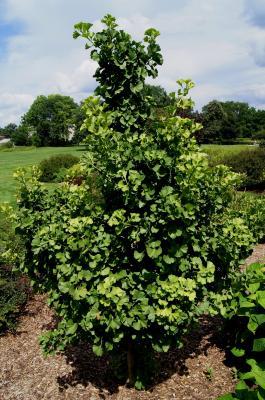 Ginkgo biloba 'Spring Grove' (Spring Grove Ginkgo), habit, summer