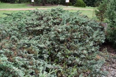 Juniperus 'Hermit' (Hermit Juniper), habit, mature