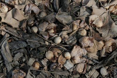 Ginkgo biloba 'Fastigiata' (Upright Ginkgo), seeds, mature