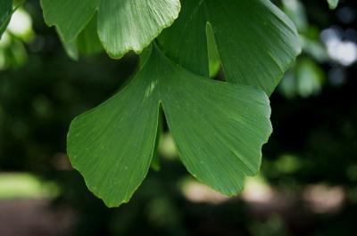 Ginkgo biloba 'Princeton Gold' PP2675 (PRINCETON GOLD® Ginkgo), leaf, upper surface
